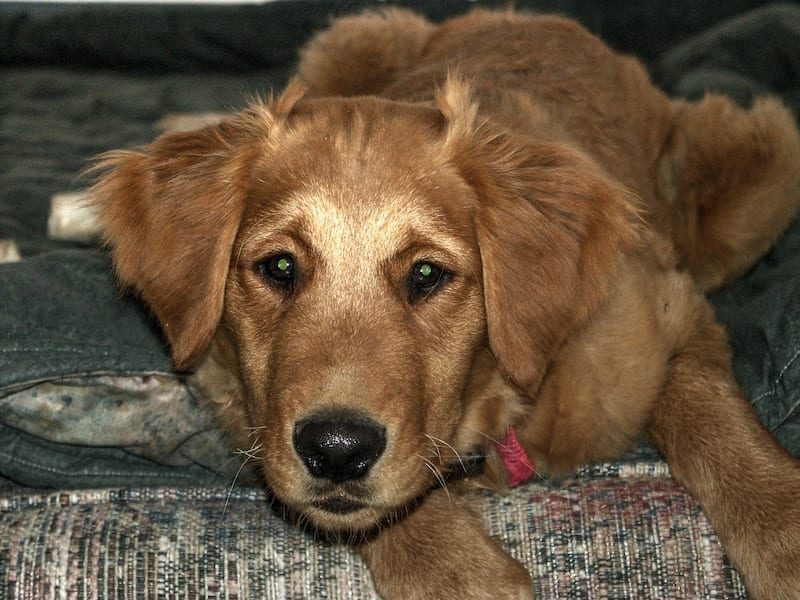 Packer-Golden-Retriever-Puppy